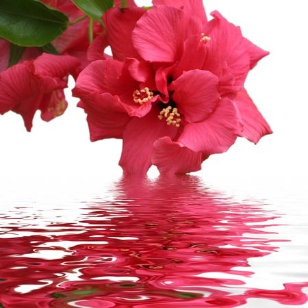 hibisco: La belleza de Hibiscus Foto de archivo
