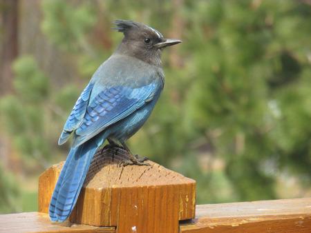 green jay: Blue Bird