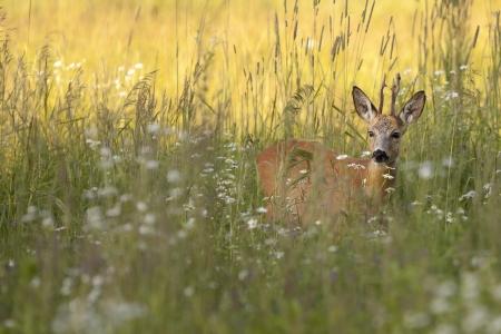 Roebuck in het wild Stockfoto
