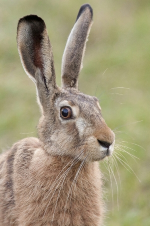 Portrait of a hare photo