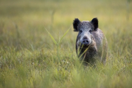 Boar in the wild, in the clearing