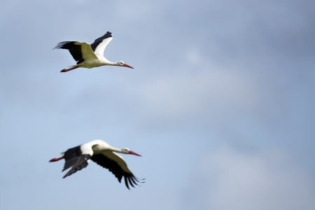 White storks in flight photo