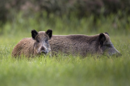 Boars in the clearing  photo