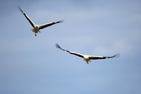 Two white storks in flight photo
