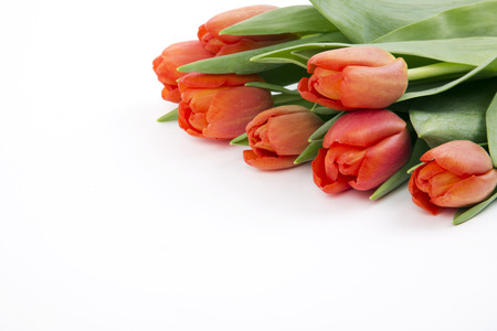 Red tulips on a white background photo