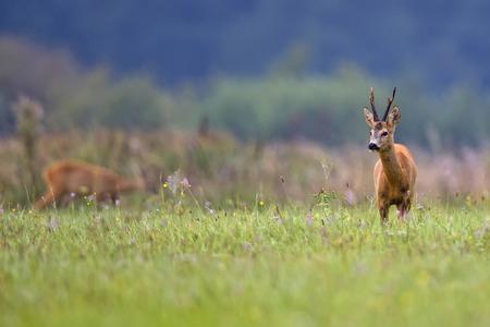 Buck hert in een open plek Stockfoto