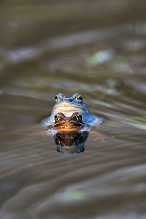 Moor Frog - Mating photo