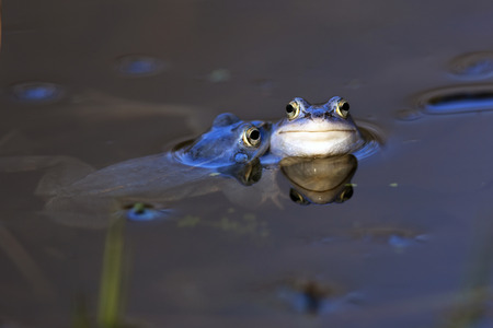 Moor frogs in the wild photo