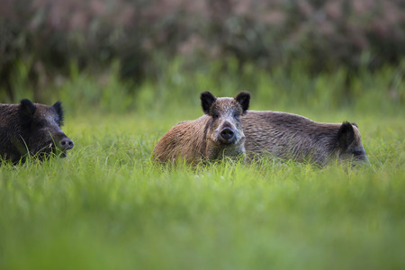 Boars in the wild, in a clearing