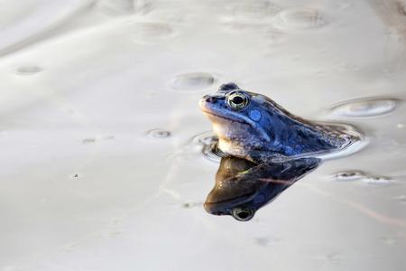 Moor frog in the wild Stock Photo - 27162112