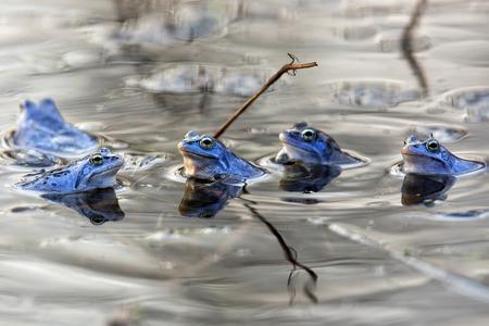 Moor frogs in the wild
