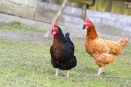 Hens on the farm photo