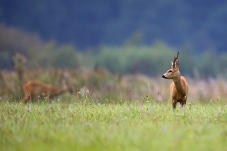 Buck hert in een clearing