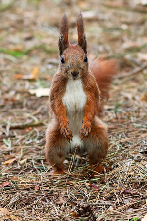Red squirrel in the forest photo