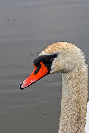 Swan, a portrait photo