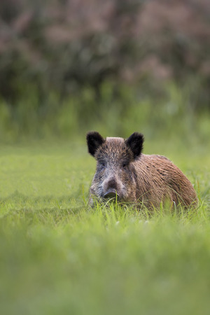Boar in a clearing, in the wild photo