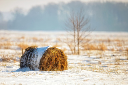 Bale of hay in a field, winter landscape photo