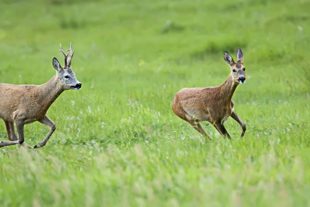 Buck deer with roe-deer on the run, in a clearing photo