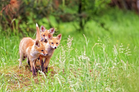 Foxes in the wild, in a clearing