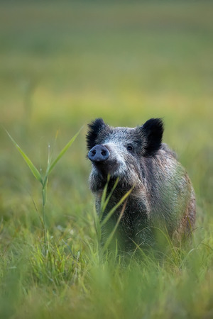 Boar in the wild photo