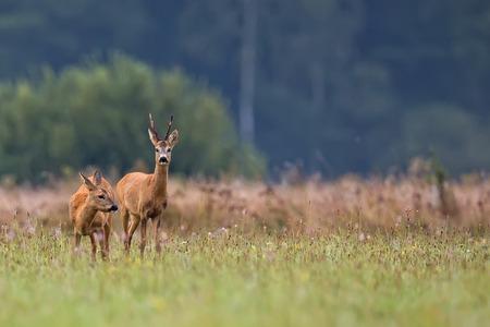 deer stand: Buck deer with roe-deer in the wild