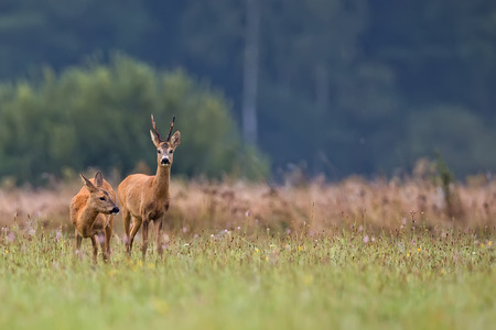 forests: Buck deer with roe-deer in the wild
