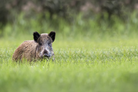 Wild boar in the clearing