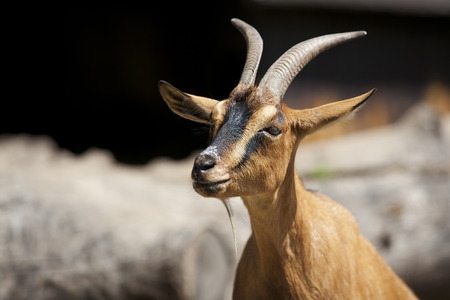 hircus: Goat in the wild