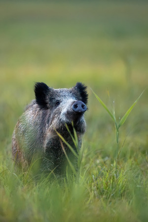 Wild boar in the wild photo