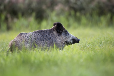 clearing: Wild boar in the wild, in a clearing Stock Photo