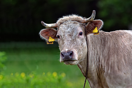 clearing: Cow in a clearing a portrait Stock Photo