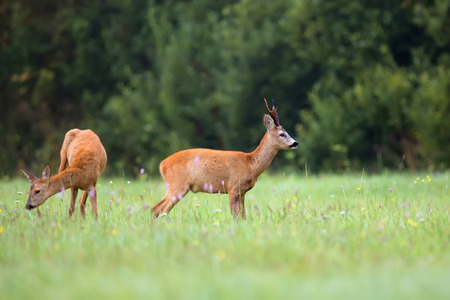 clearing: Buck deer with roedeer in a clearing
