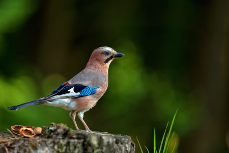 jay: Jay in the forest