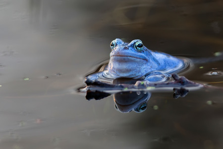 frog: Moor frog in the water Stock Photo