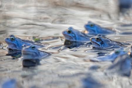 Moor frogs in the water
