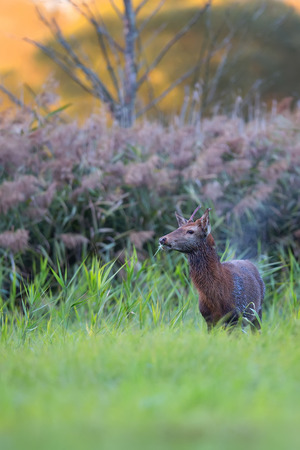clearing: Red deer in a clearing