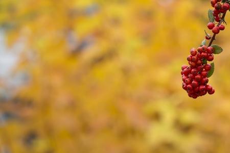 eberesche: Red Eberesche auf einem herbstlichen Hintergrund