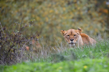lioness: Lioness in the wild