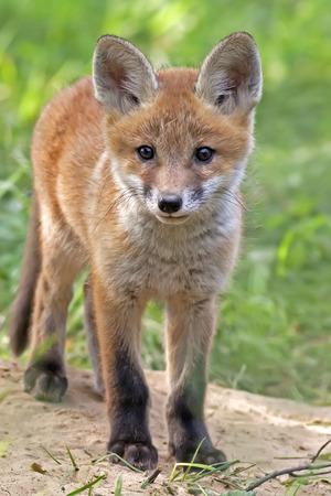 zorro: Fox en la naturaleza