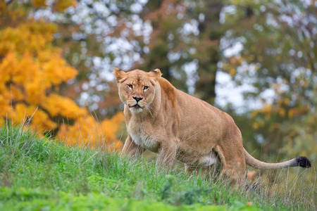clearing: Lioness in the wild, in a clearing
