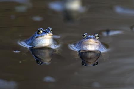 moor: Moor frogs in the wild