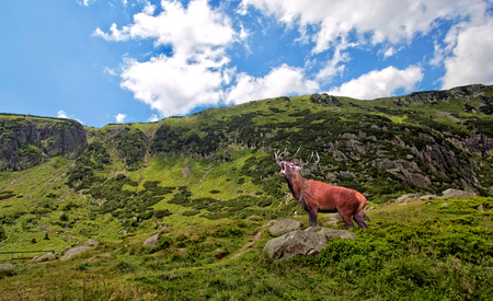 bellowing: Red deer bellowing in the mountains Stock Photo