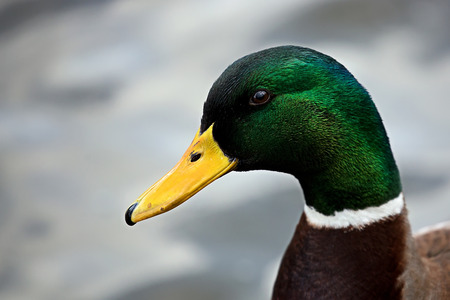 Mallard, a portrait Stock Photo