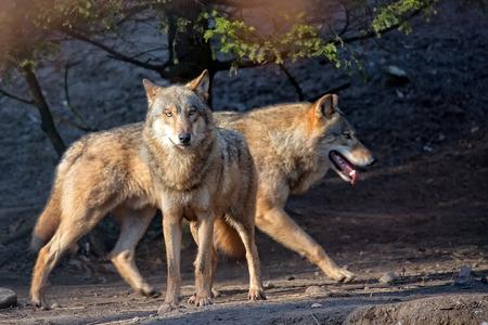 kampfhund: W�lfe in der Wildnis