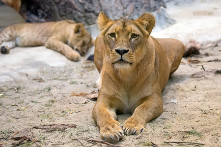 Lioness in the wild, in a clearing