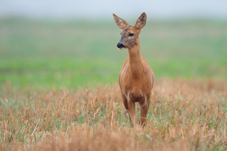 clearing: Roe-deer in a clearing in the wild