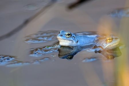 Moor frogs on the lake in the wild Stock Photo