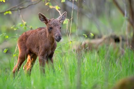 Jonge Amerikaanse elanden in het bos in de wildernis