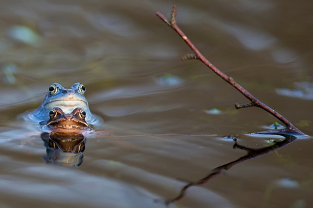 moor: Moor frogs on the lake in the wild Stock Photo