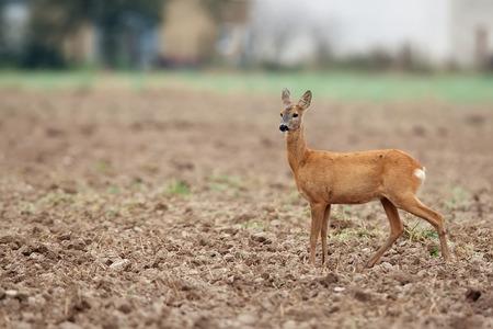 roebuck: Roe-deer in a field in the wild
